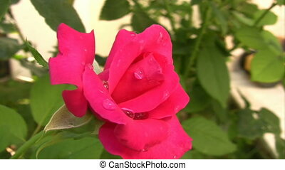 Beautiful pink rose in the garden