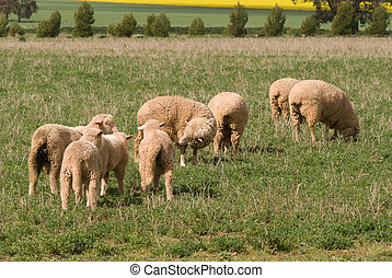 mammal - 4 ewes and their lambs in rural pasture