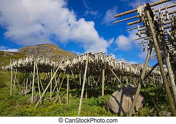 Stockfish - Traditional way of drying stockfish on Lofoten...