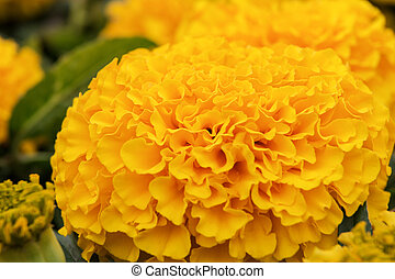 tagetes erecta - beautiful orange tagetes erecta close up...