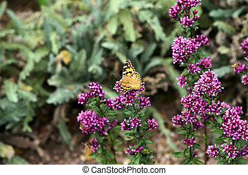painted ladt butterfly landing on purple flowers