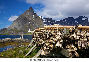 Drying of stockfish on Lofoten - Traditional way of drying...