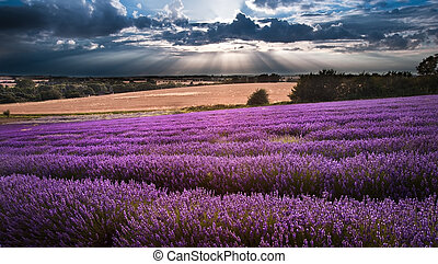 Beautiful lavender field landscape with dramatic sky -...