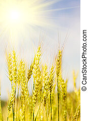 ripening ears of wheat field on the background of the  sun