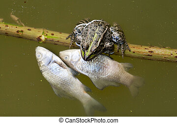 Contaminated water can frogs and fish - Frog in the pond...
