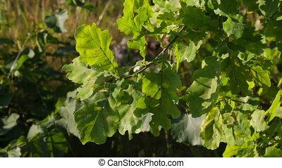 Branch of oak on the wind