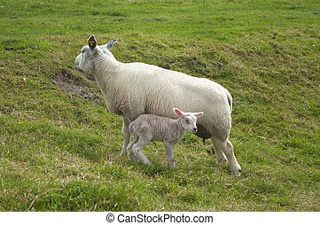 sheep with lamb - mother sheep with her very young lamb