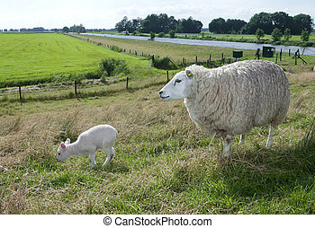 sheep with lamb - mother sheep with her young lamb