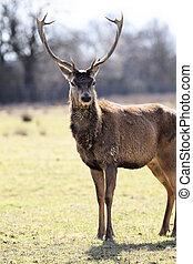 wild deer in alert in a meadow in autumn