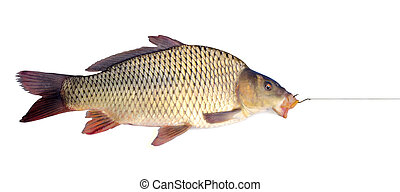 carp on a fishing hook isolated over white