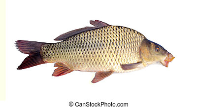 carp isolated over white