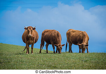 Three brown cows on a hill Two eat grass and one stares at...
