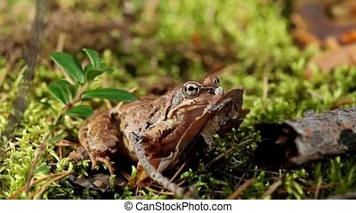 frog - wood frog sitting in the grass