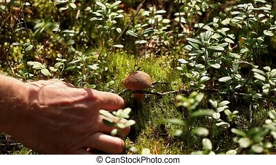 mushroom picking - mushrooms mossiness picking in the wild...
