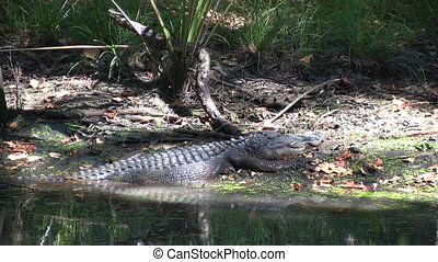 Alligator On Bank - Alligator slides backwards off the...
