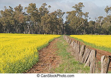 agriculture - a fence line between 2 canola crops