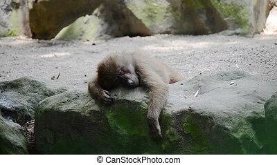 a young baboon sleeps with eye rapid motions