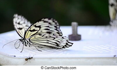 lime butterfly - a couple of lime butterfly on a platform...