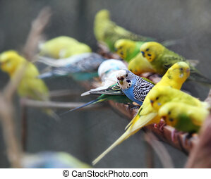Pretty, playful and colorful lovebirds agapornis-fischeri...