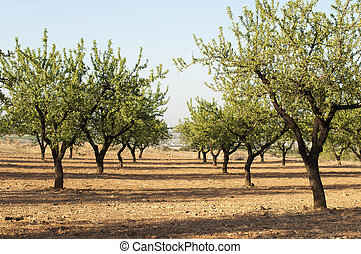 Almond plantation trees. Blue sky
