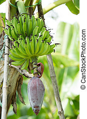 Red flower of a banana on tree