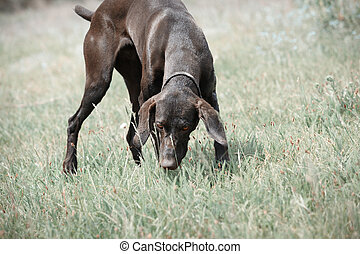 German short haired pointer in the steppe