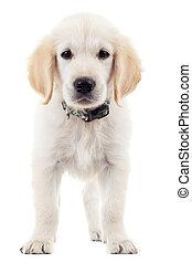labrador, retriever, Filhote cachorro, cão, ficar,...