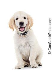 labrador, Filhote cachorro, cão, sentando, olhar,...