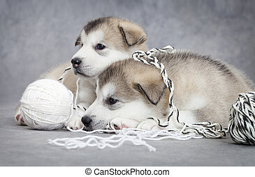 Two malamute puppies with a ball of string - Two malamute...