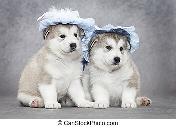 Malamute puppies - Portrait of one month old alaskan...
