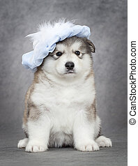 Malamute puppy - Portrait of one month old alaskan malamute...