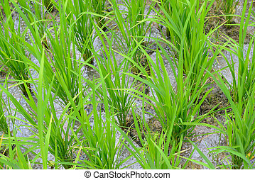 The rice sprouts