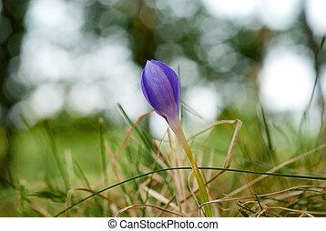 Beautiful autumn flowers - Autumn crocus, meadow saffron or...