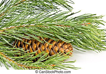 Christmas fir branch with cones on a white background