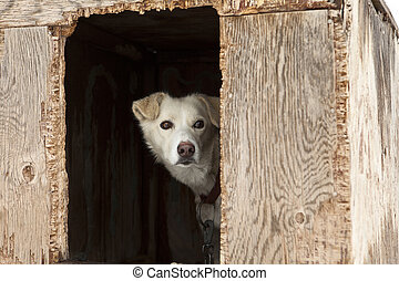 Sled Dog In Plywood Kennel - A single sled dog watching...
