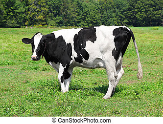 Vermont dairy cow in a field feeding on grass