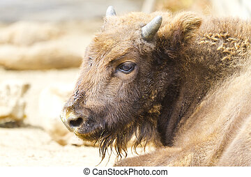 European bison - Beautiful European bison rested on the...
