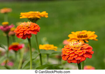 Zinnias are in full brilliant Autumn bloom