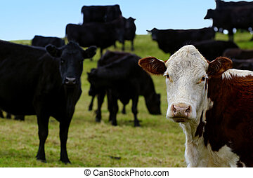 Steers Bulls in Beef Farm - A brown and white steer bull...
