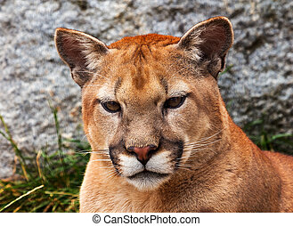 Mountain Lion Closeup Head Cougar Looking at You Puma...