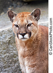 Mountain Lion Cougar Puma Concolor Looking - Mountain Lion...
