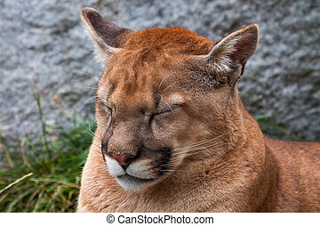 Not Really Mountain Lion Closeup Head Cougar Puma Concolor -...