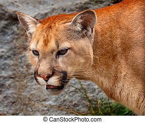 Mountain Lion Closeup Head Cougar Kitten Puma Concolor -...