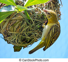 Weaver Bird Ploceidae on Nest Working - Weaver Bird or...