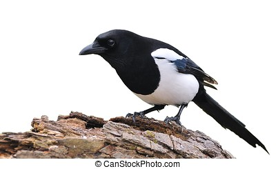 Isolated magpie. - A Isolated magpie on a white background.