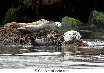 Harbor Seals Backing In The Sun - Harbor Seals Phoca...