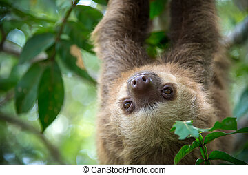 Two-toed sloth hanging from a tree in the jungle in Costa...