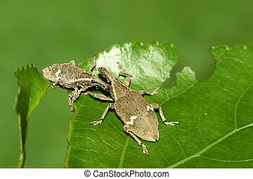 weevil - a kind of insect has a long nose