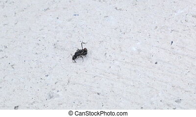 Ants fighting Clip 1