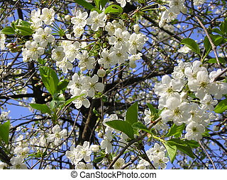Flowering cherry on a bac - A spring and cherry came...